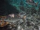 Messing-Ruderfisch