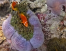 Anemonenfische