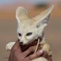 A young desert fox